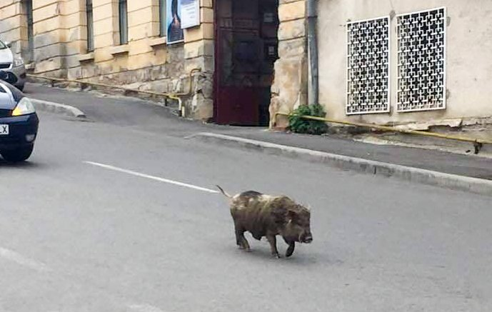 Grohăind în dorul lelii, un porc prin centrul Zalăului trecea